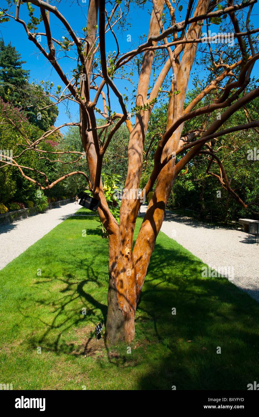 Myrtus Luma Myrtaceae Tree - Stock Image