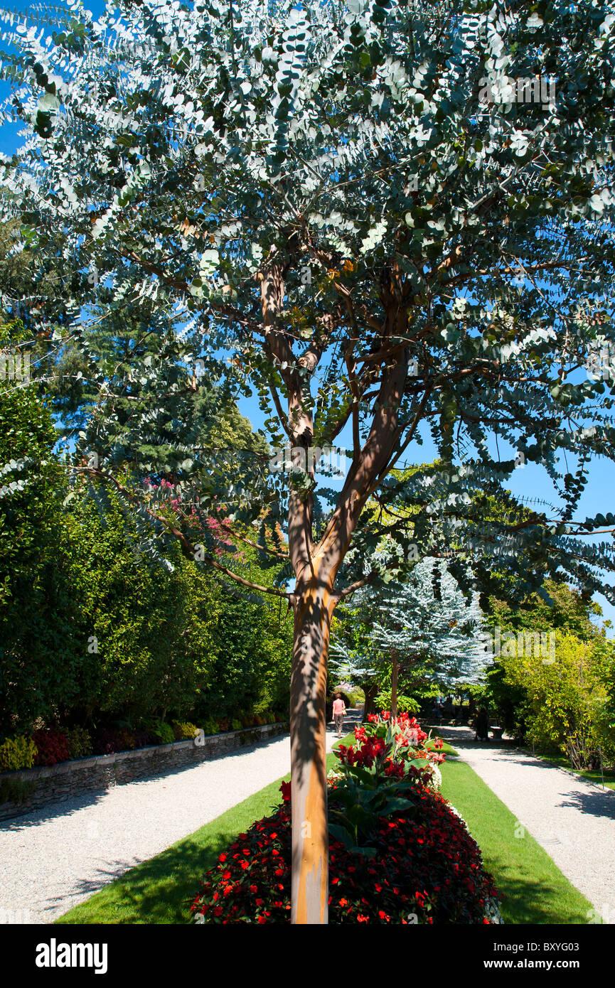eucaliptus pulverulenta myrtaceae Tree - Stock Image