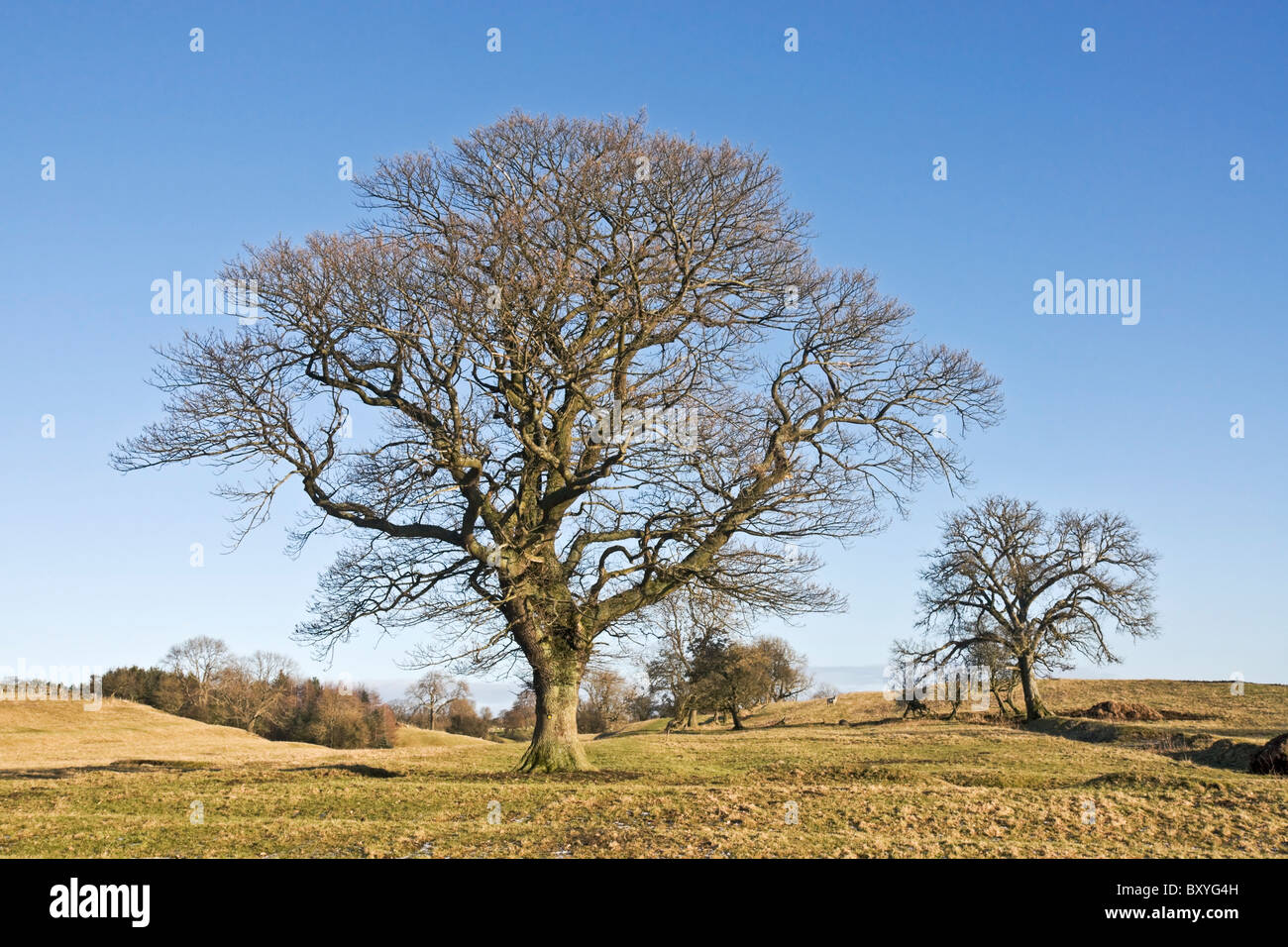 Ash trees in winter growing on upland grazing land in North Yorkshire. - Stock Image