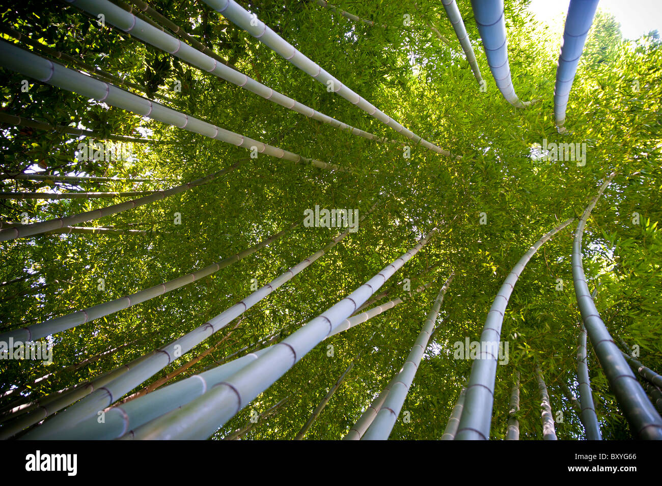 Bamboo canes Phyllostachys Pubescens Gramineae - Stock Image