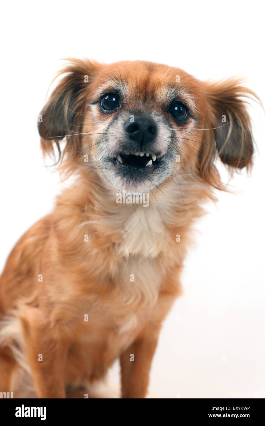Mixed Breed dog on white studio background making a funny face - Stock Image