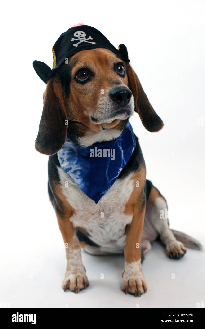 Studio shot of a funny beagle dog in a pirate costume looking to the side  sc 1 st  Alamy & Studio shot of a funny beagle dog in a pirate costume looking to the ...