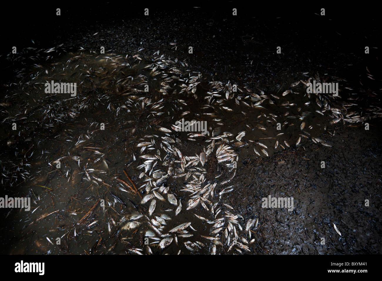 At Vichy, trapped fish during the Allier Lake emptying (France). A Vichy, poissons piégés lors de la vidange - Stock Image