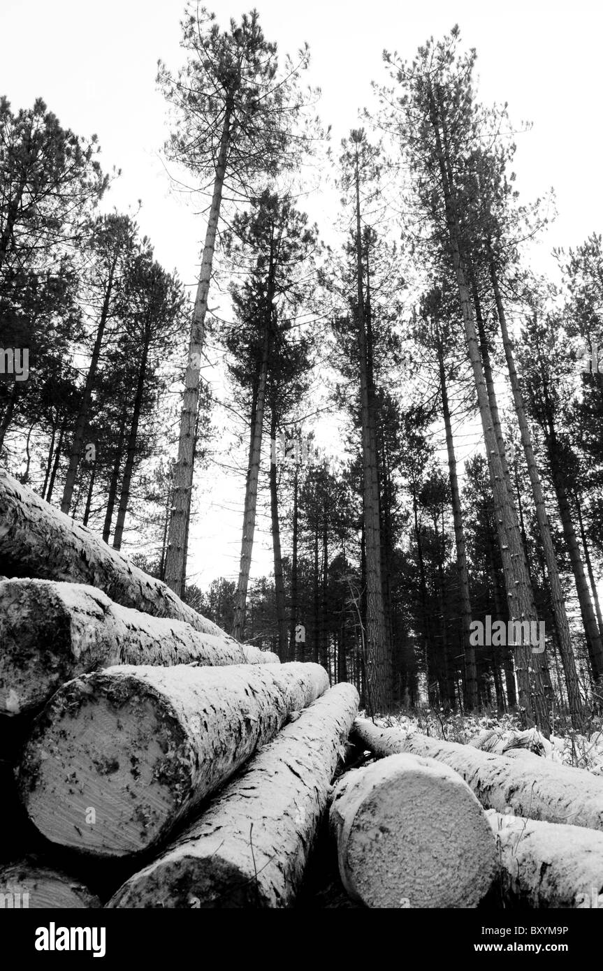 Black and white shot of piled up felled pine trees in the snow at Cannock Chase in Staffordshire Stock Photo