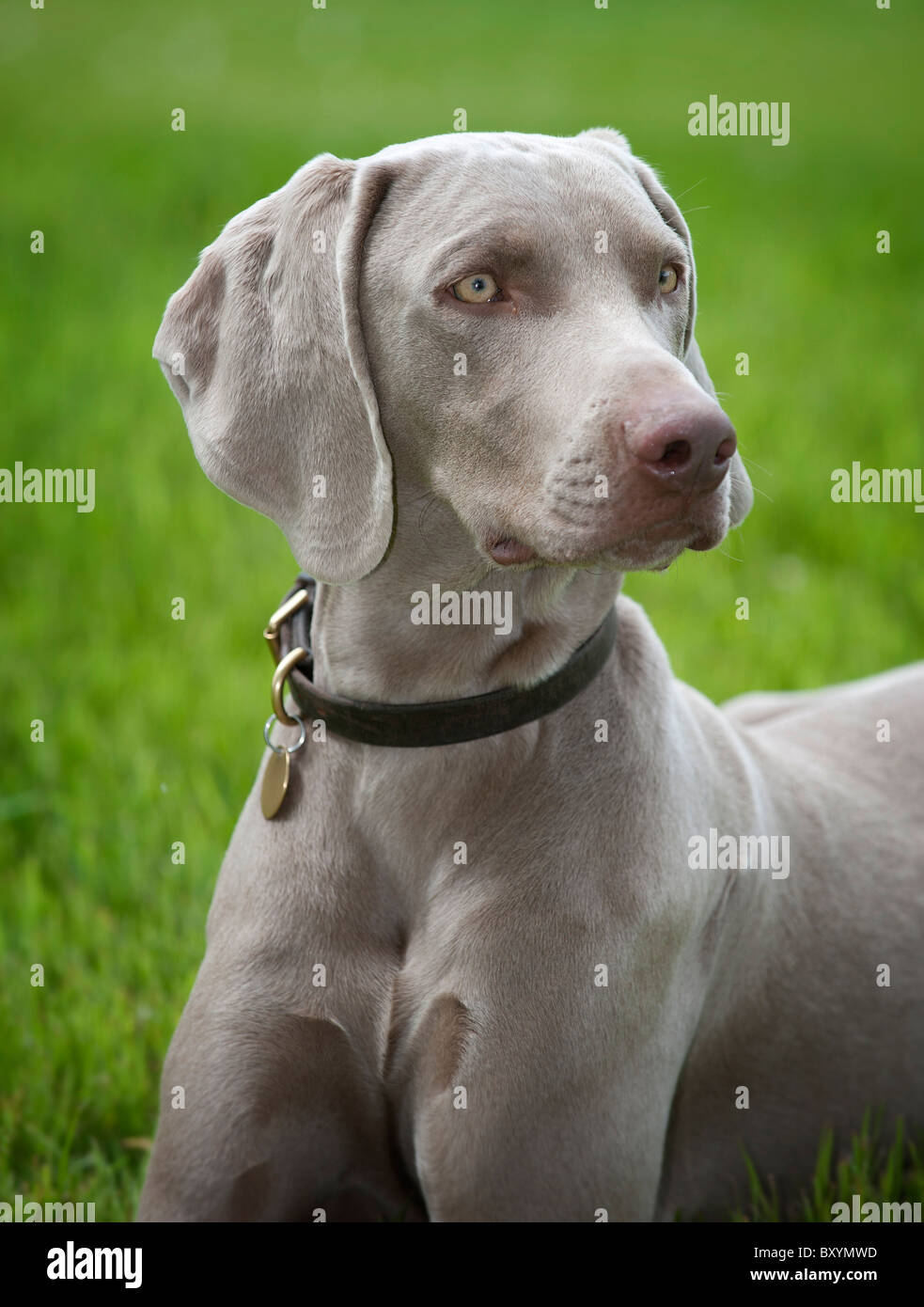 A young male Weimaraner - Stock Image