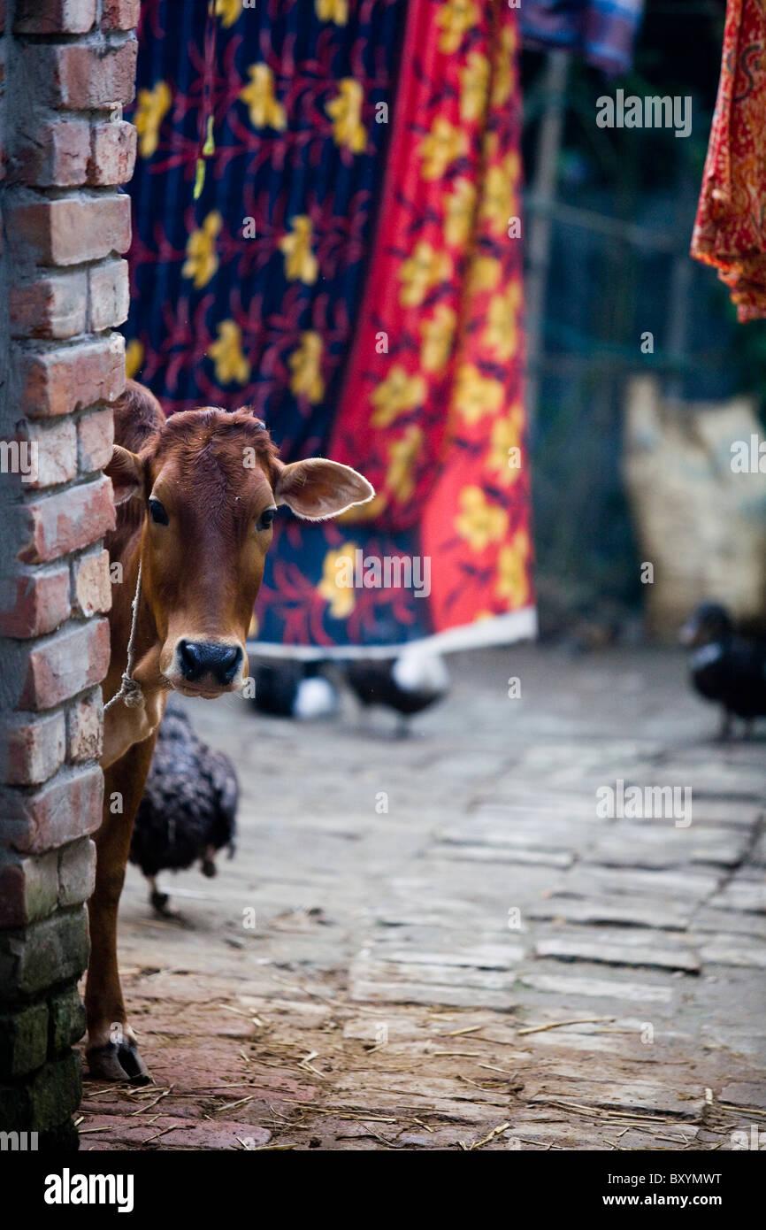 Cow in rural village, Bangladesh - Stock Image