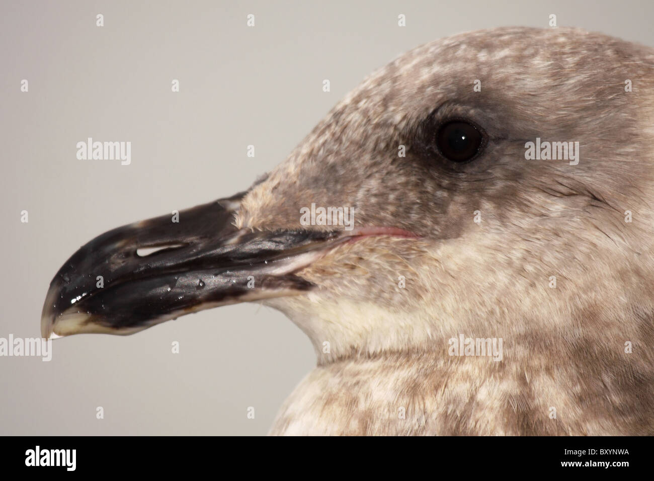 A portrait of Western Gull in 1st year winter plumage. - Stock Image