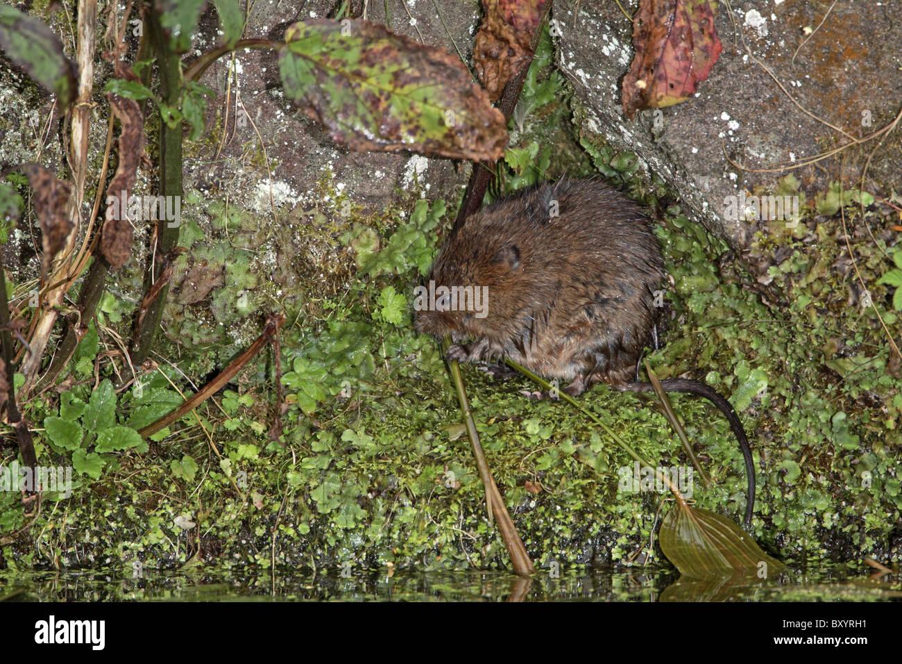 Water Vole, Arvicola amphibius eating reed, Derbyshire - Stock Image