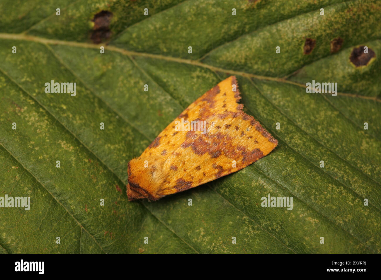 Pink-barred Sallow, Xanthia togata, North Perthshire - Stock Image