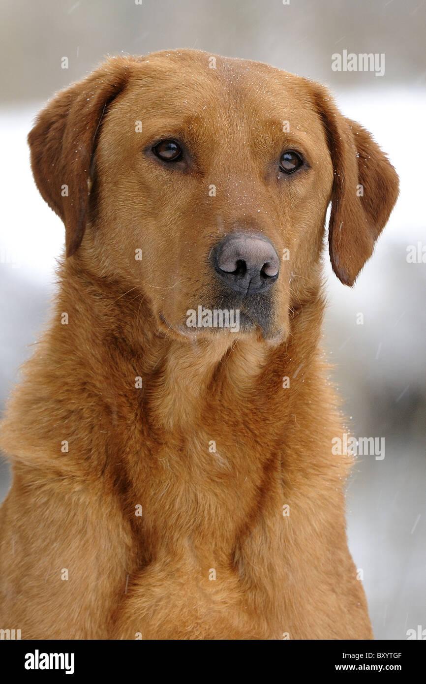 Fox Red Labrador Stock Photos & Fox Red Labrador Stock