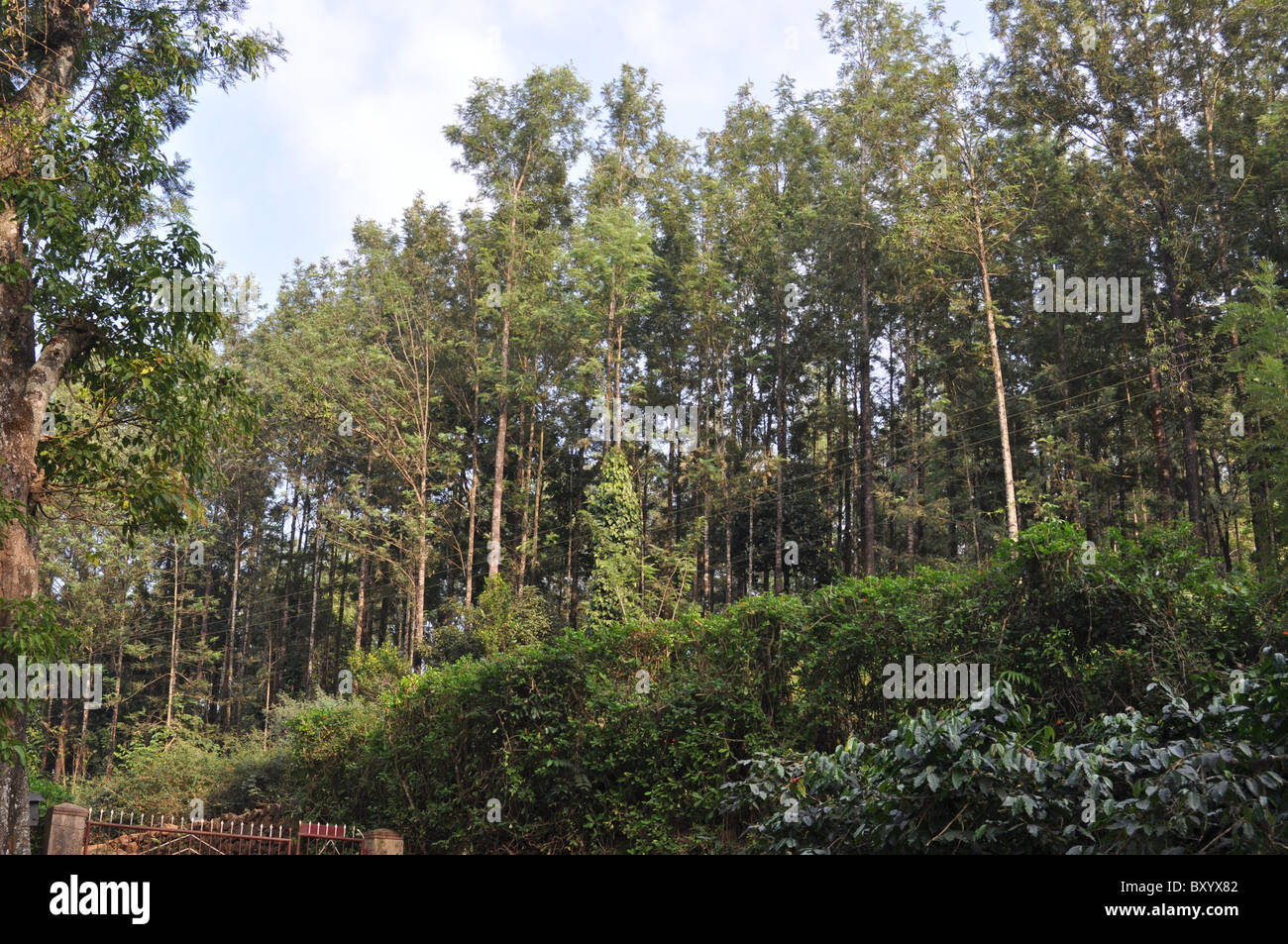Shade trees planted close to each other in a coffee estate - Stock Image