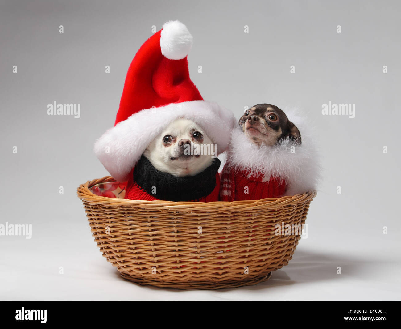 two pet chihuahua dogs in basket dressed in Christmas outfits Stock ...