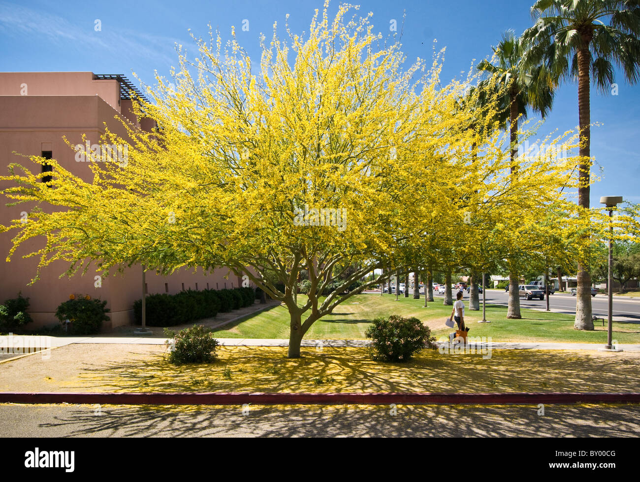 foothill palo verde tree in bloom casts its shadow arizona state