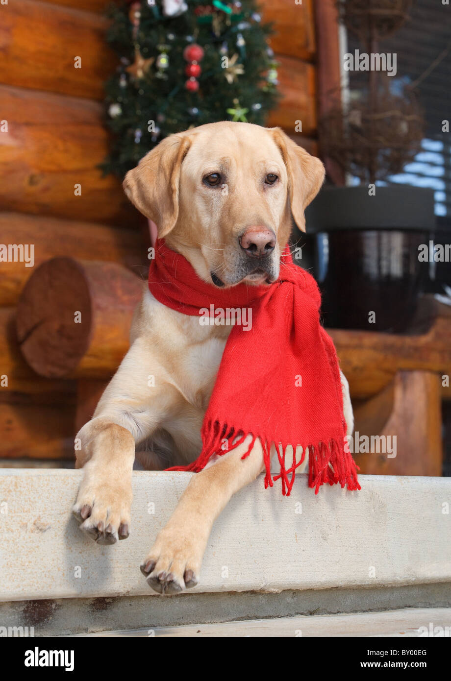 beautiful labrador retriever sitting on porch alert - Stock Image