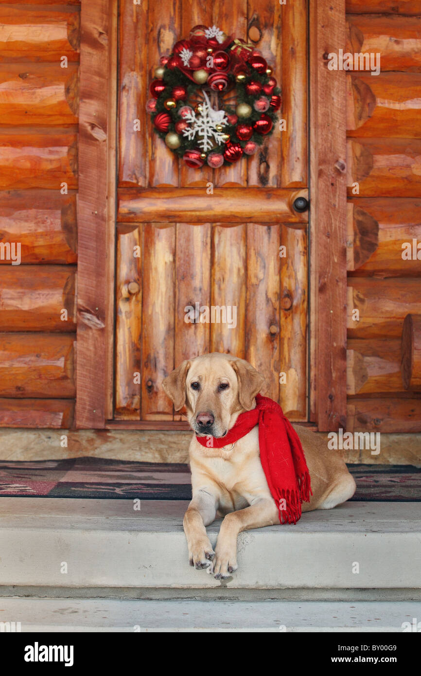 yellow lab sitting on cabin porch during holidays - Stock Image