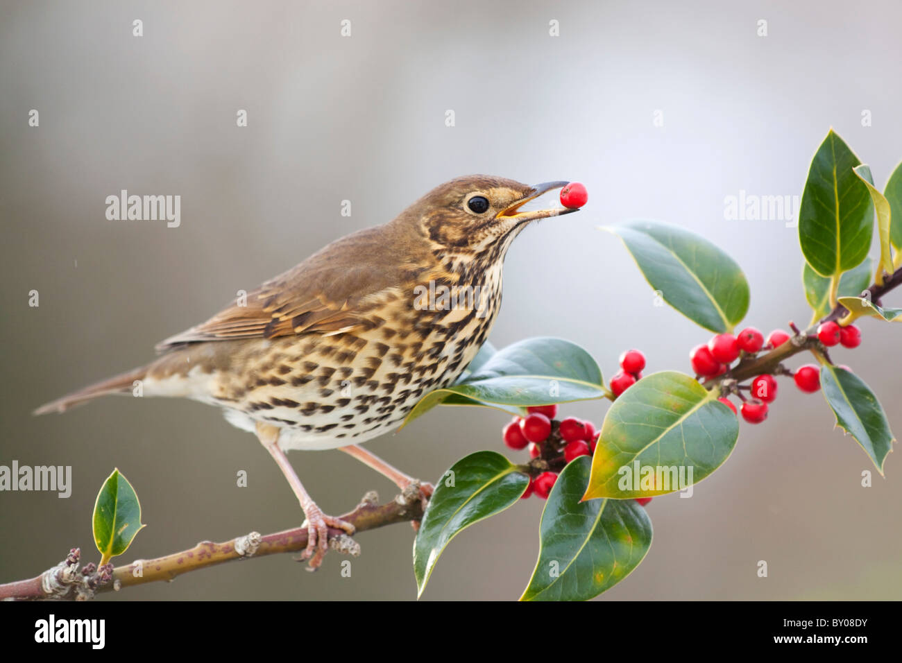 Song Thrush; Turdus philomelos; eating holly berries - Stock Image