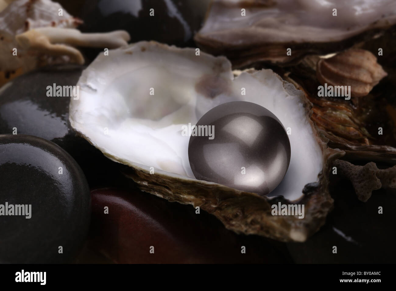 Image of a black pearl in a shell on a white background. - Stock Image