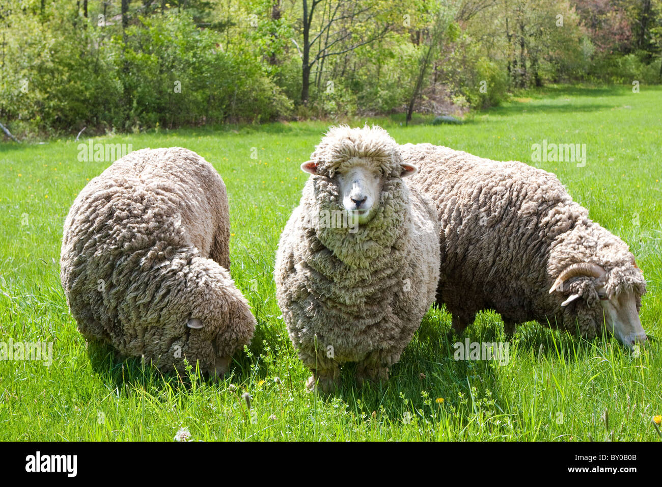 Three Sheep in a green field - Stock Image