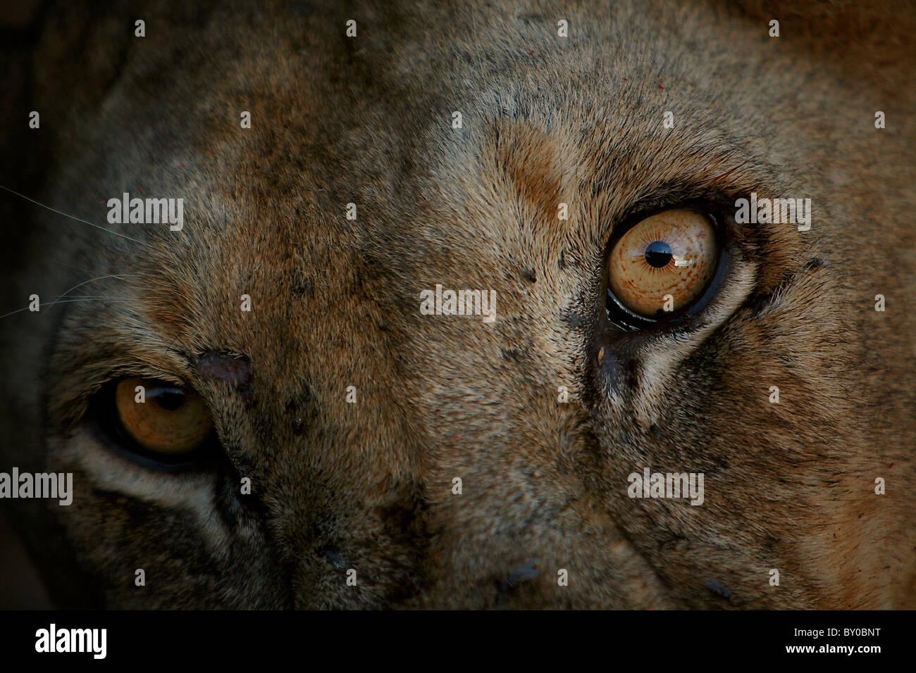 FEMALE LION (PANTHERA LEO) MIKUMI NATIONAL PARK TANZANIA AFRICA. - Stock Image