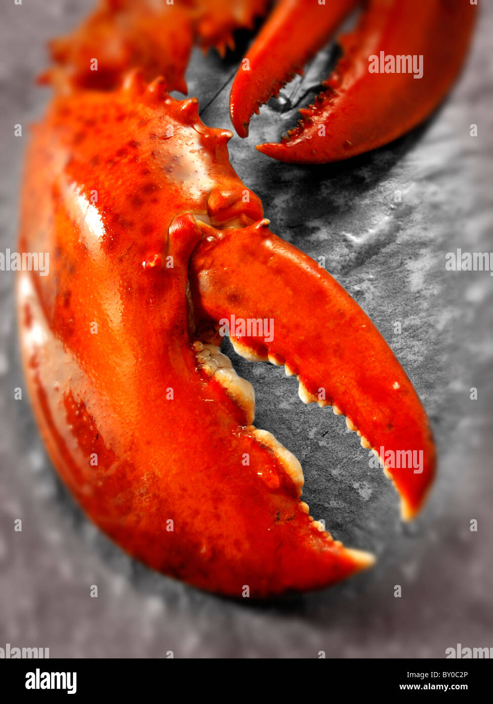 Fresh cooked whole lobster claws - Stock Image