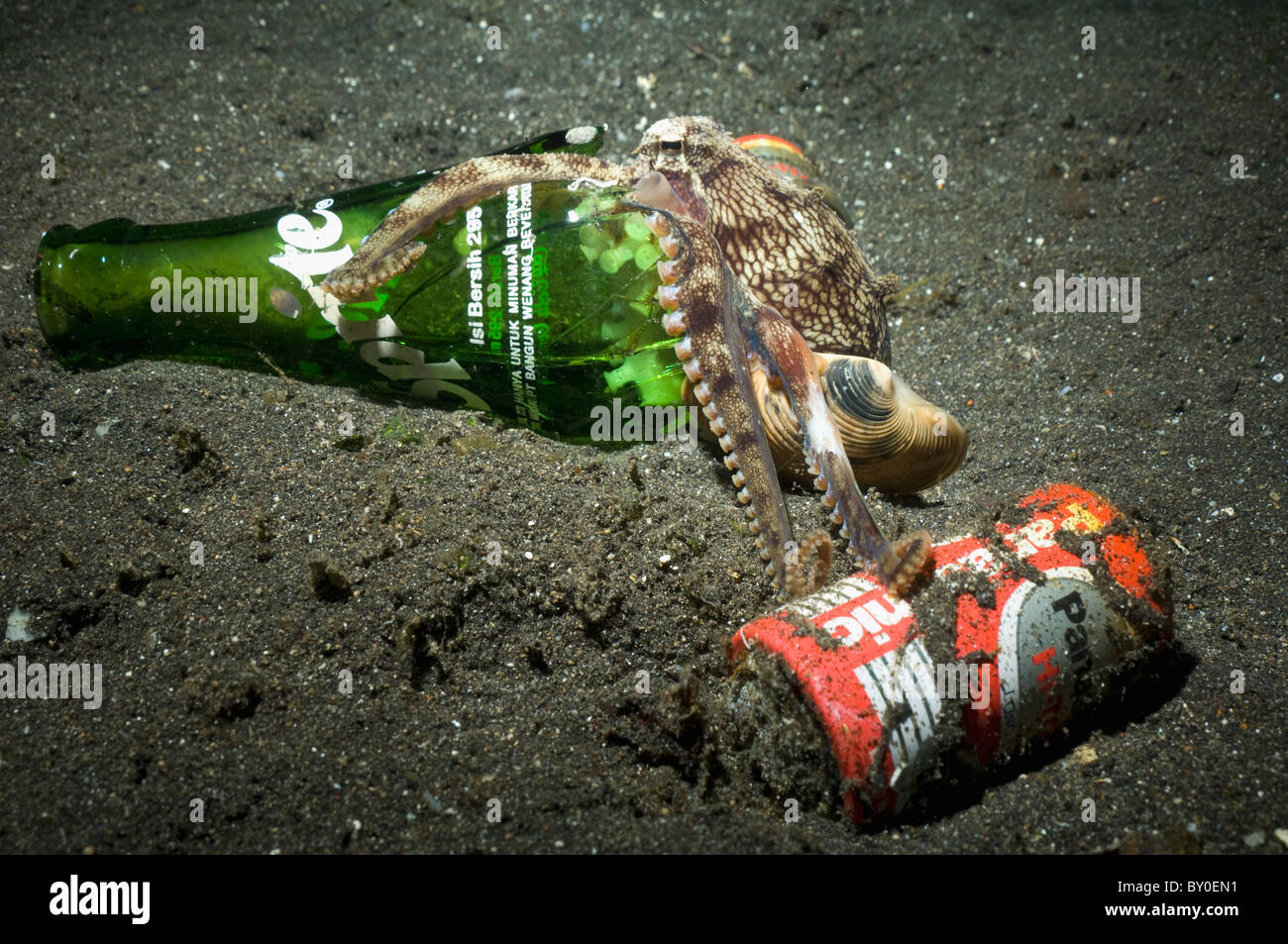 Veined octopus (Octopus marginatus) with a broken Sprite bottle it uses for shelter investigating a battery - Stock Image