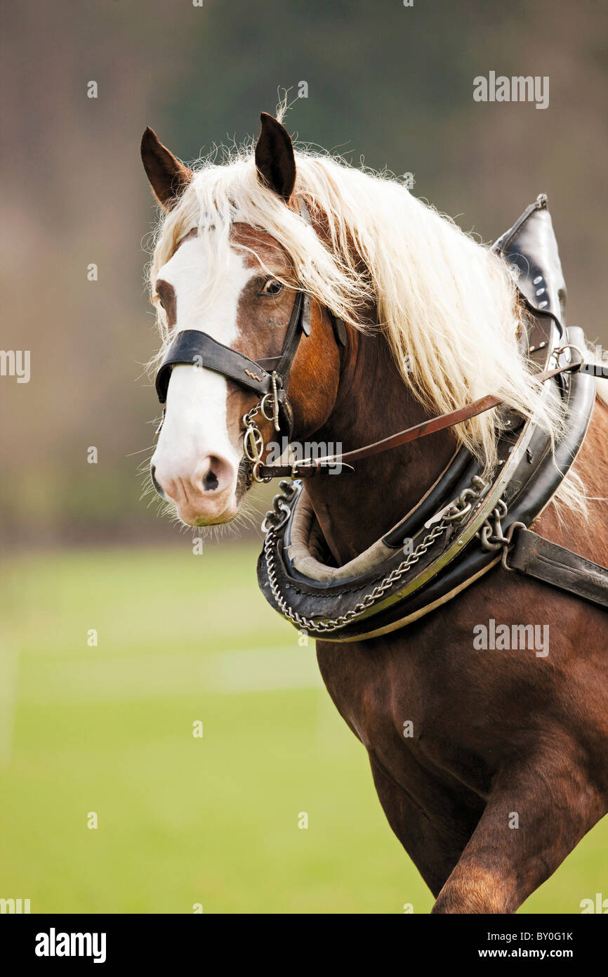 Cold-blooded horse - portrait - Stock Image