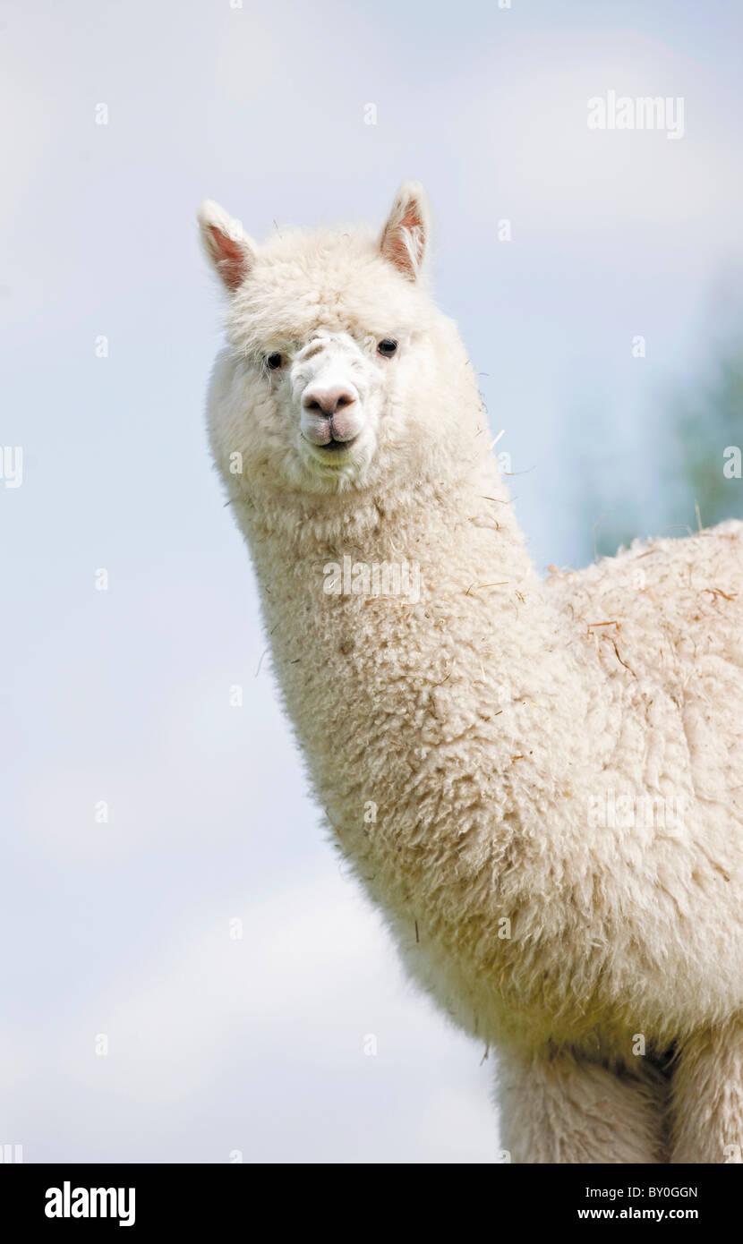 Alpaca (Lama pacos, Vicugna pacos), portrait of adult - Stock Image