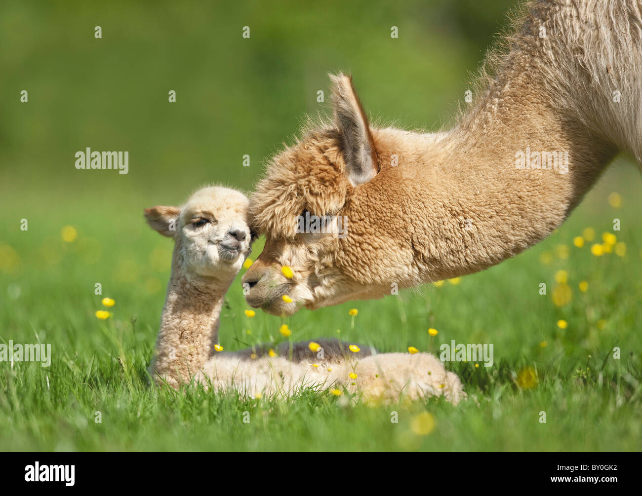 Alpaca and cub on meadow / Vicugna pacos - Stock Image