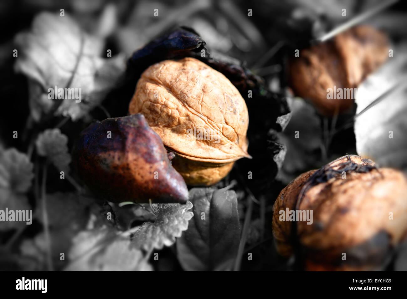 Fresh Walnuts ; fallen ; harvest ; walnut ; walnuts ; ripe ; - Stock Image