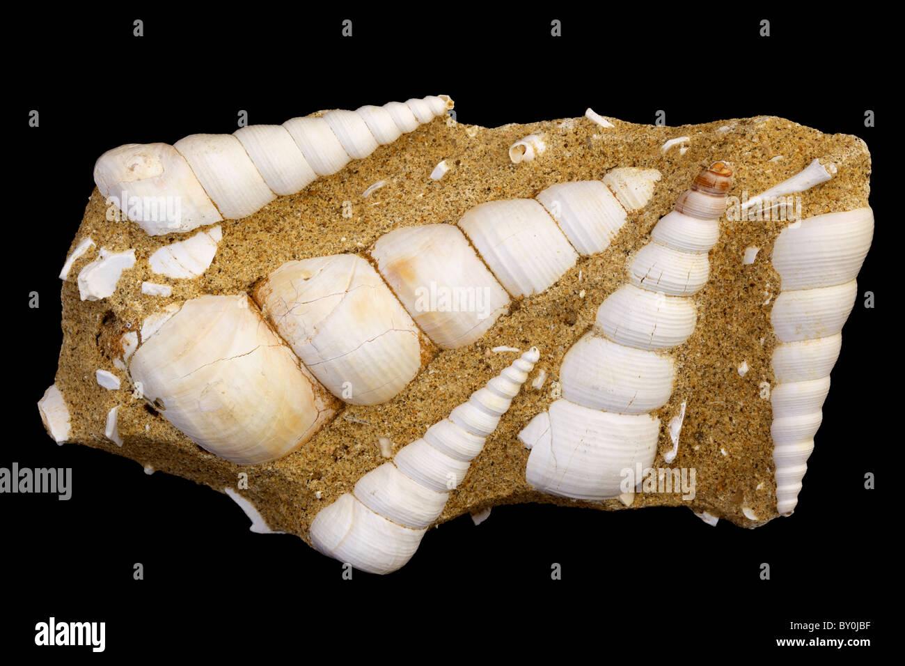 Fossil Sea snail (marine gastropod) - Turritella terebra - Miocene - Bordeaux - France - Stock Image