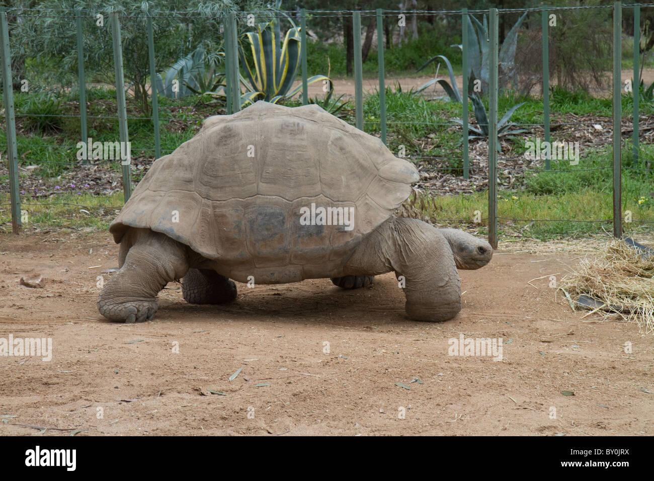 Galapagos tortoise at western plains zoo, dubbo Stock Photo
