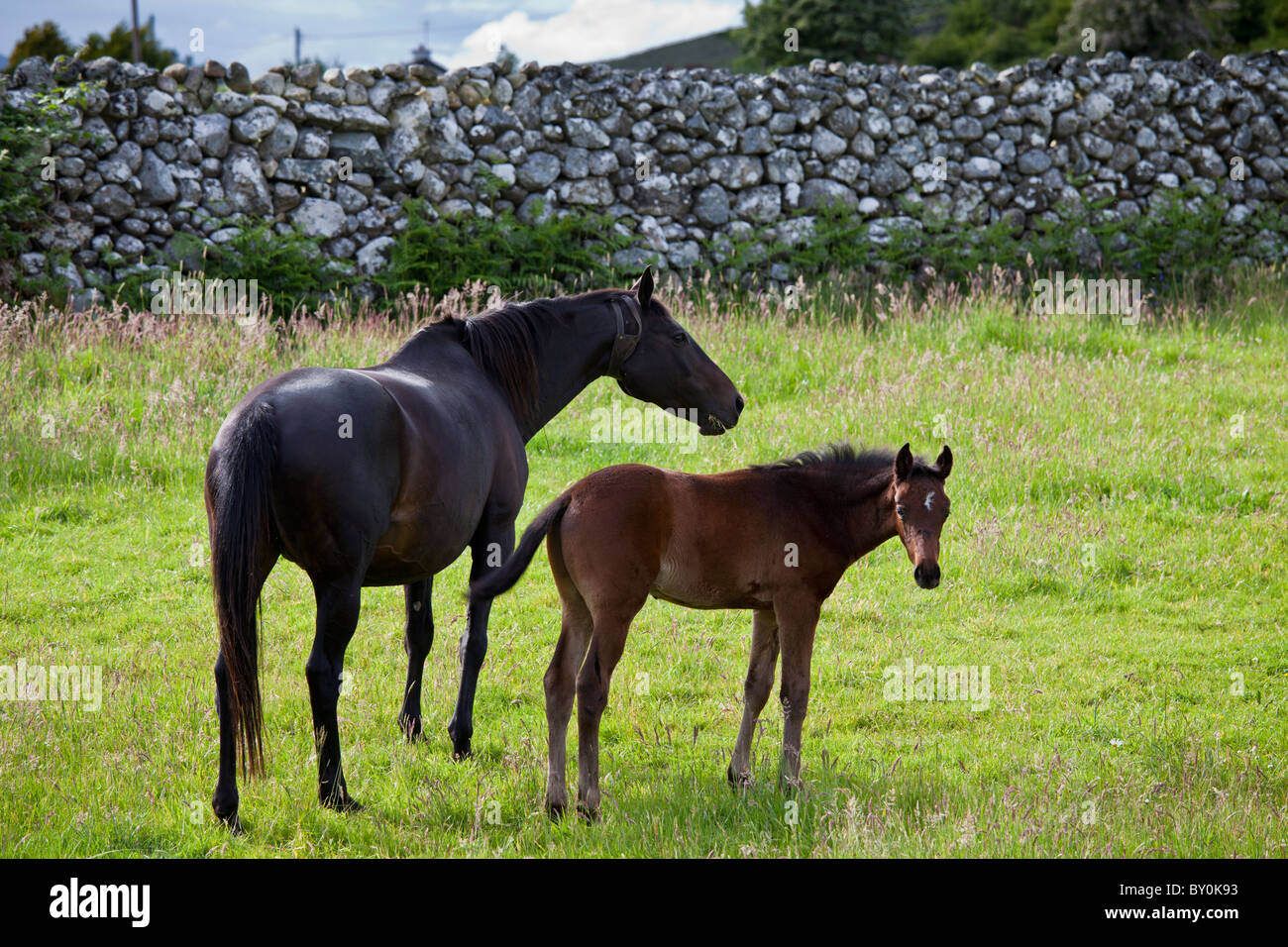 Irish mare horse and foal, County Galway, Ireland - Stock Image