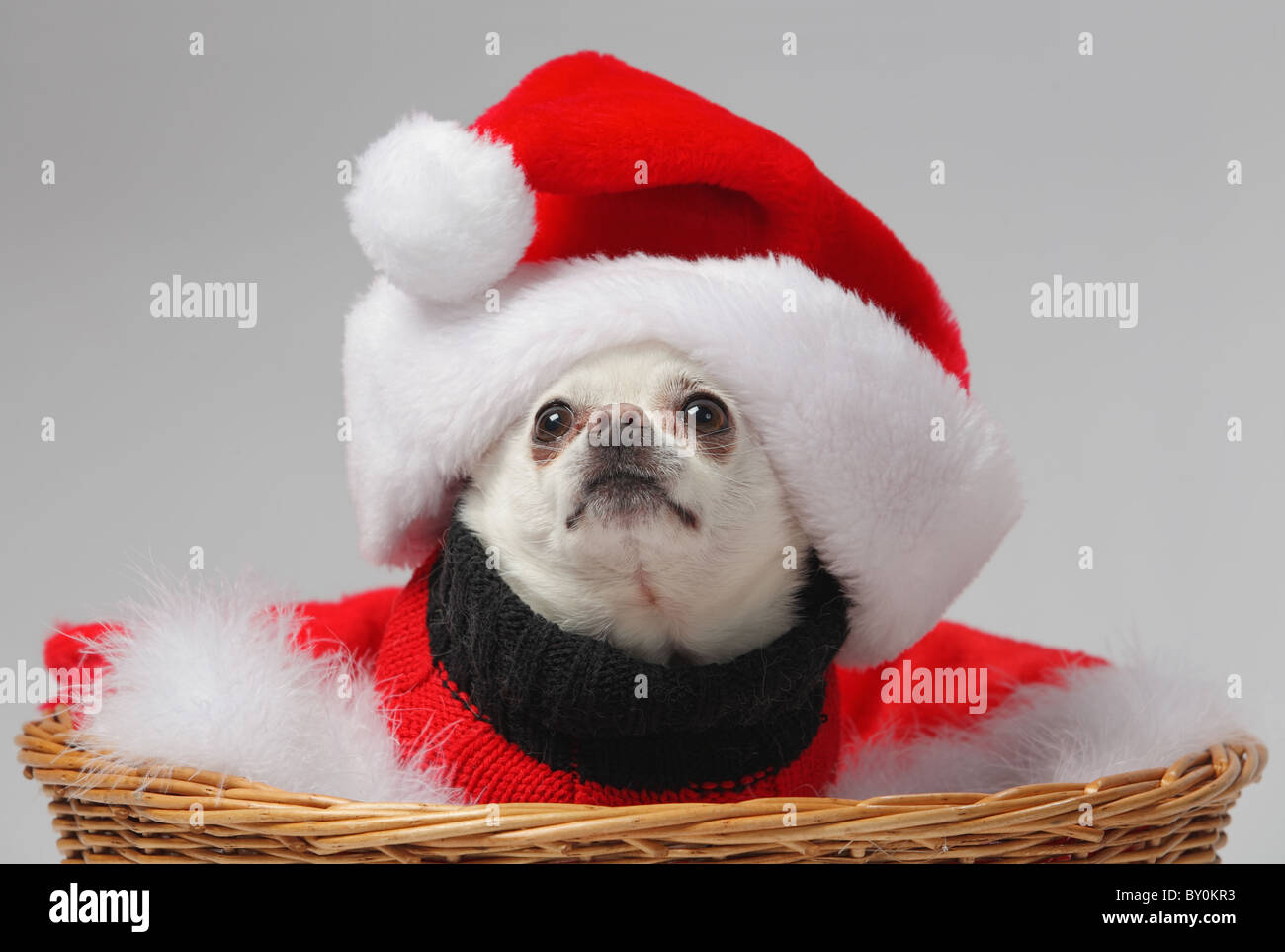 89cb17fa238 funny white chihuahua dog wearing santa hat - Stock Image