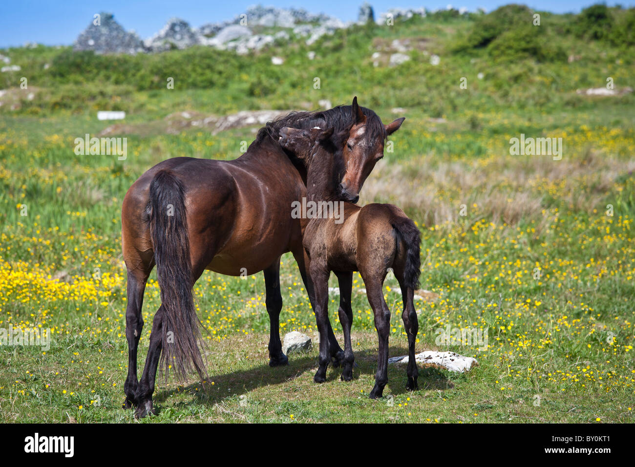 Mare and foal thoroughbred horses mutual grooming in buttercup meadow, Connemara, County Galway, Ireland - Stock Image