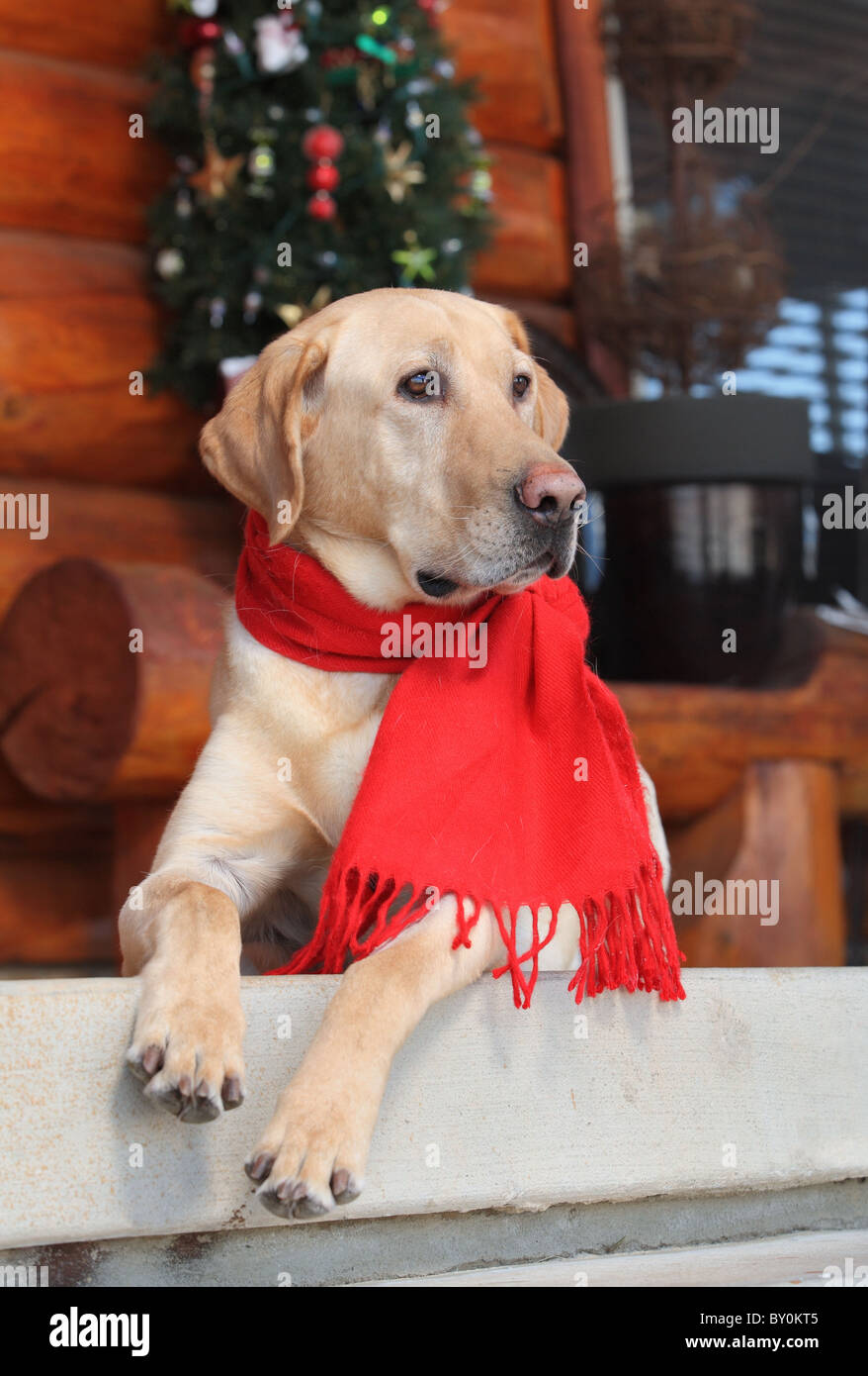 handsome male yellow lab sitting on porch at Christmastime - Stock Image