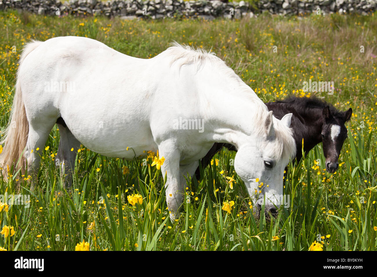 Connemara pony grey mare and foal in buttercup meadow, Connemara, County Galway, Ireland Stock Photo