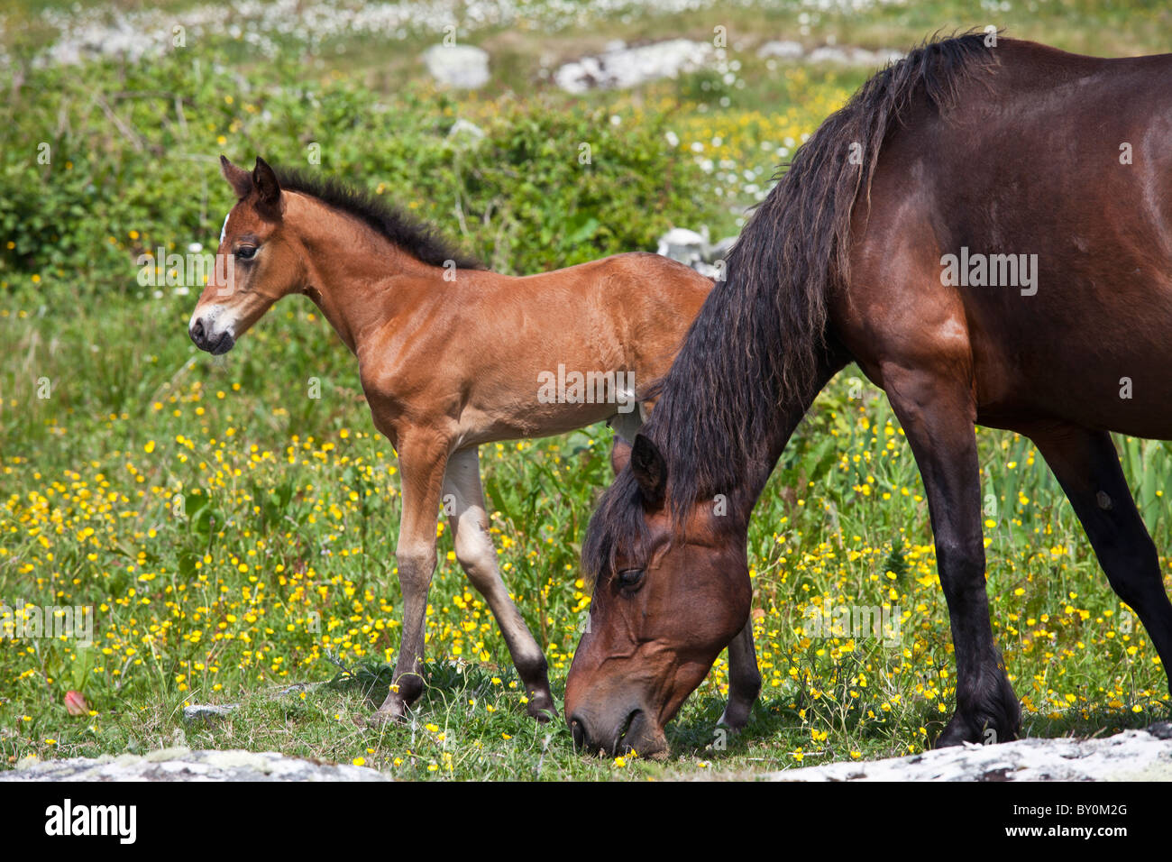 Connemara pony mare and foal in buttercup meadow, Connemara, County Galway, Ireland Stock Photo