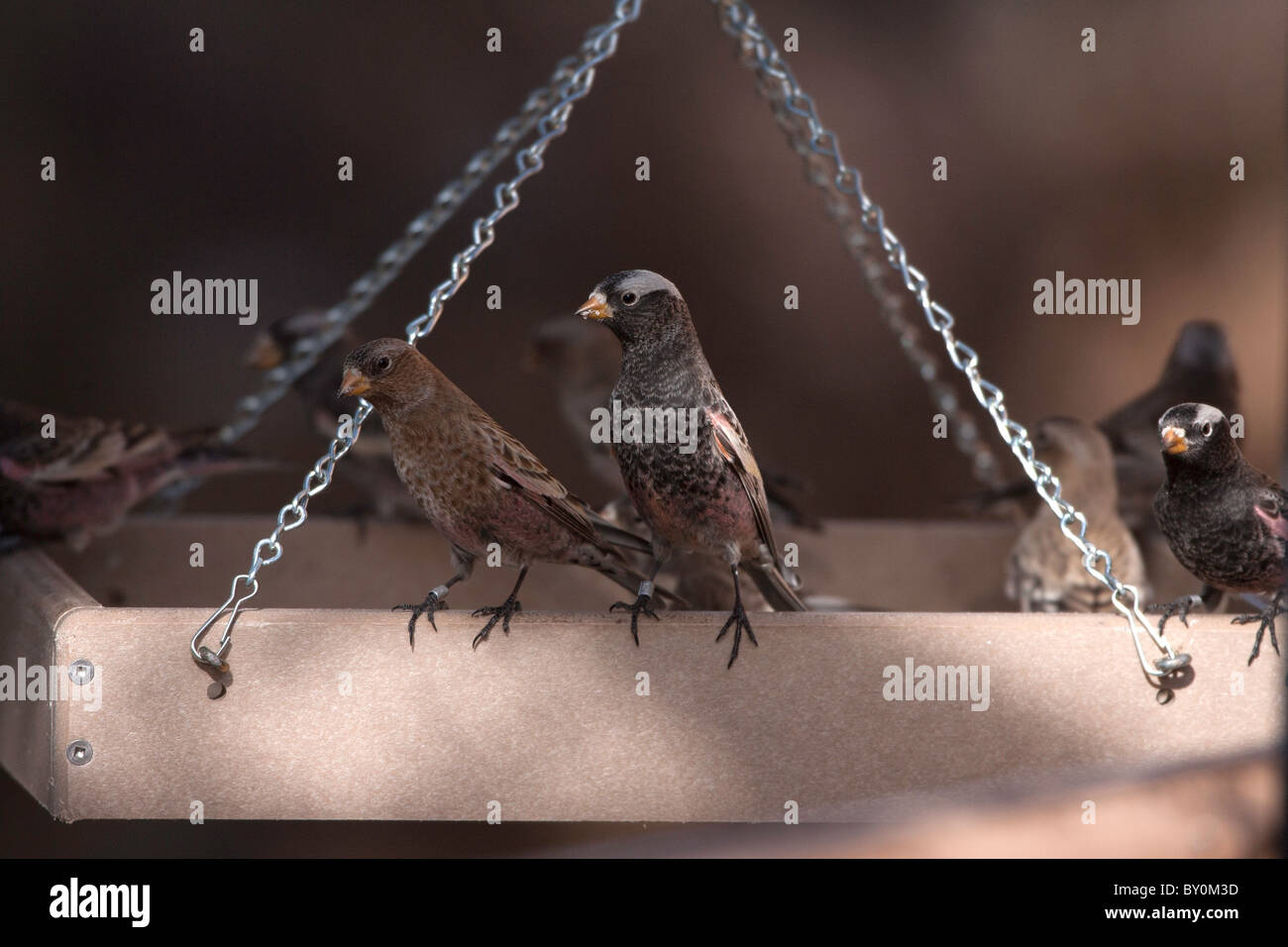 Black and Brown Capped Rosy Finches - Stock Image