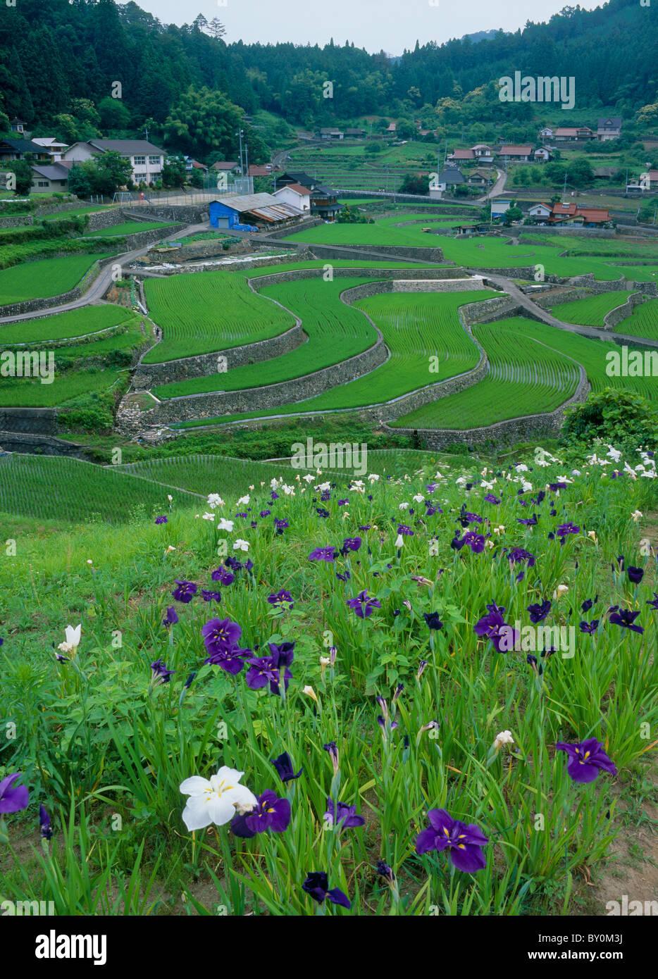 Iris and Terraced Field of Ini, Akiota, Hiroshima, Japan - Stock Image