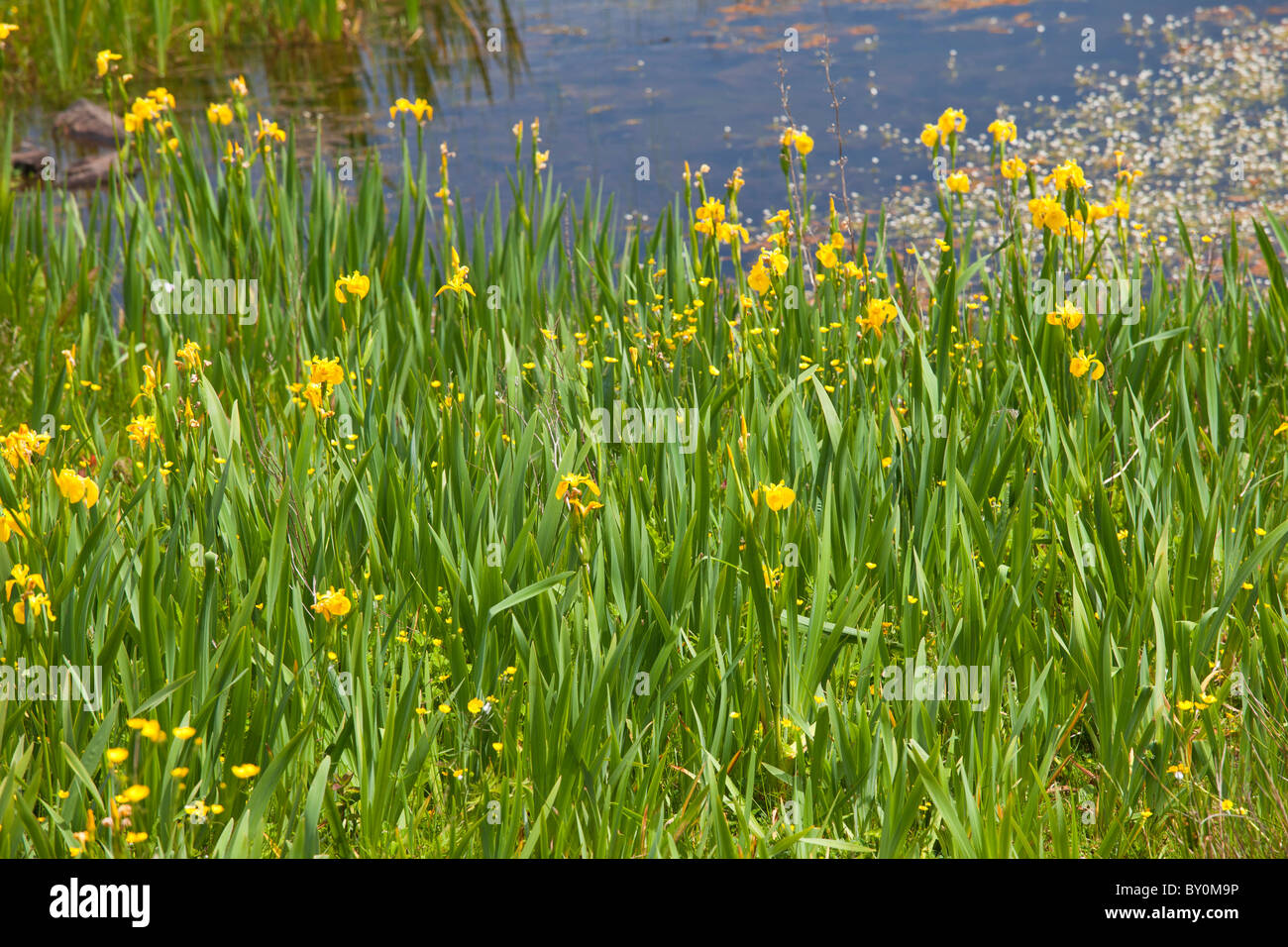 Yellow flag iris among wildflowers by Lough Inagh, Connemara, County Galway, Ireland - Stock Image