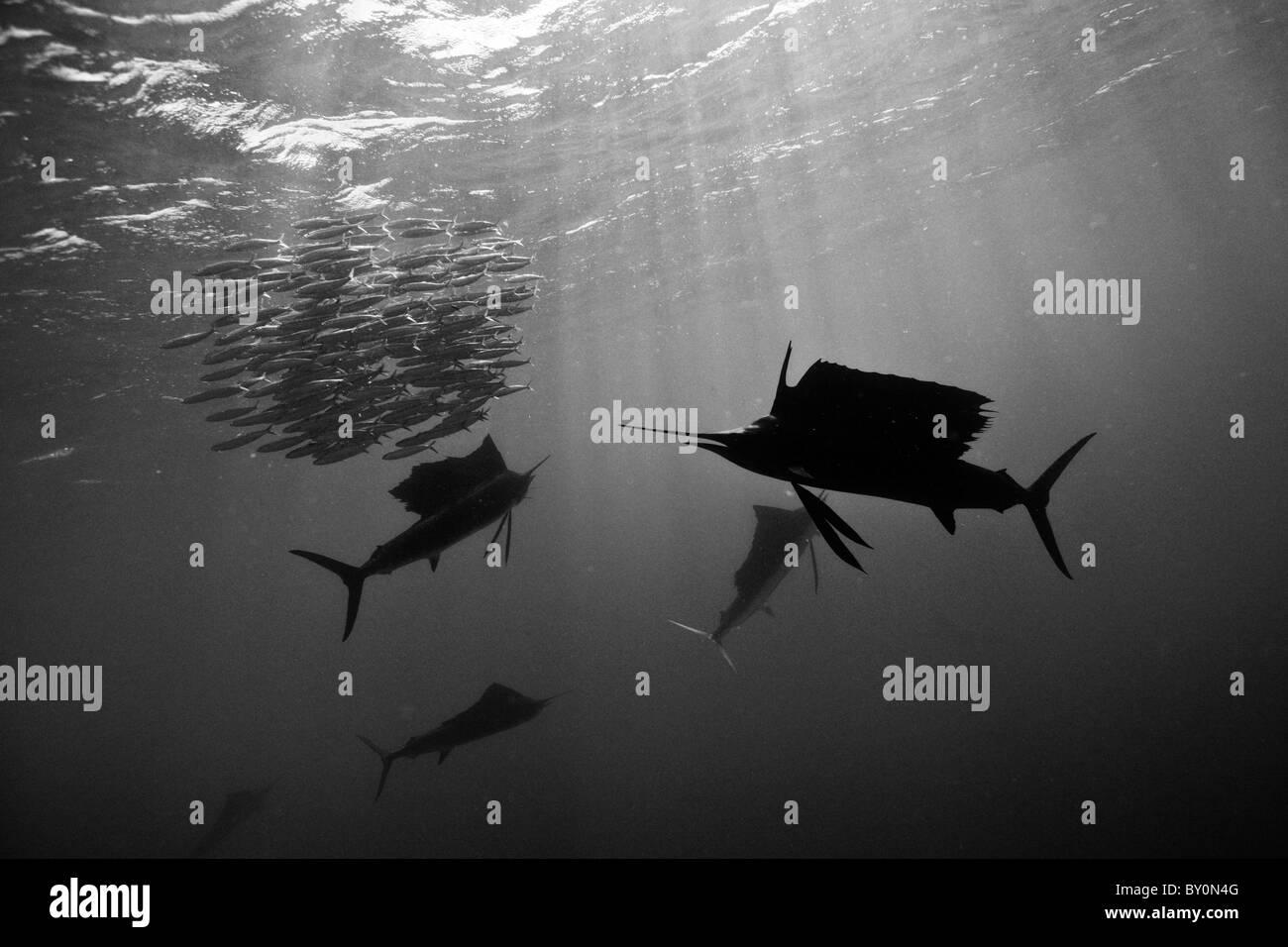 Atlantic Sailfish, Istiophorus albicans, Isla Mujeres, Yucatan Peninsula, Caribbean Sea, Mexico - Stock Image