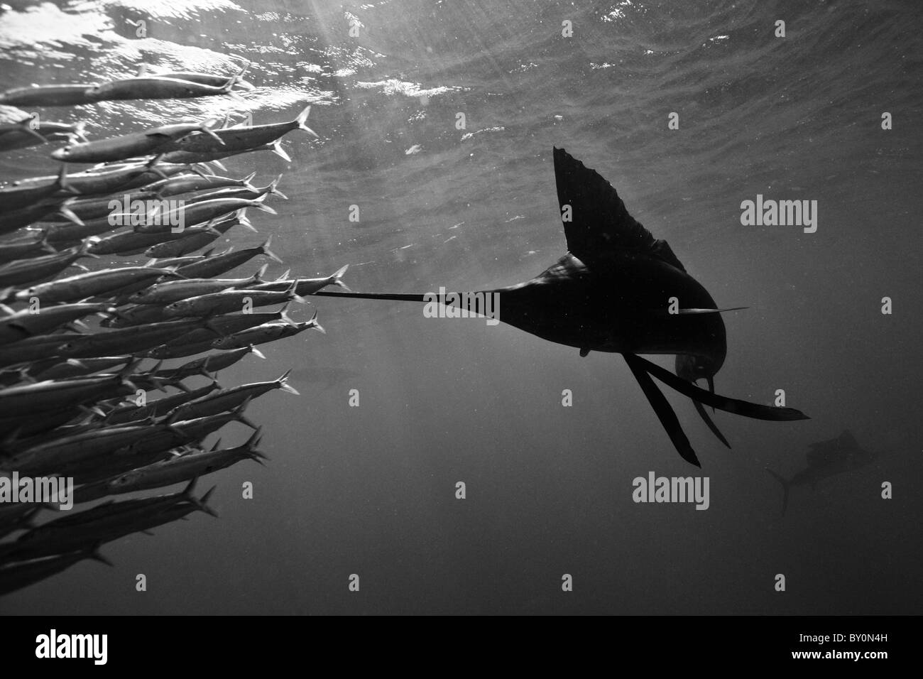 Atlantic Sailfish herd Sardines, Istiophorus albicans, Isla Mujeres, Yucatan Peninsula, Caribbean Sea, Mexico - Stock Image