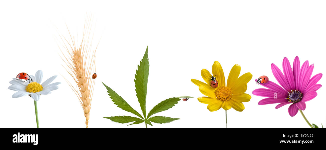 ladybug on pink yellow and white flowers, cannabis leaf and wheat ear isolated on white - Stock Image