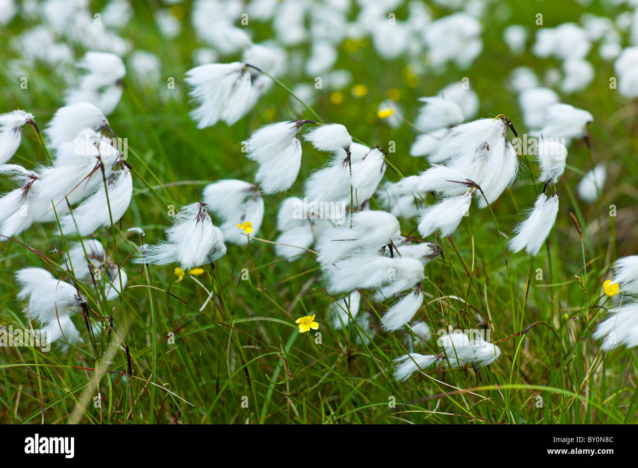 Bog Cotton, cotton-grass, Eriophorum blowing in the wind at Cleggan, Connemara, County Galway - Stock Image