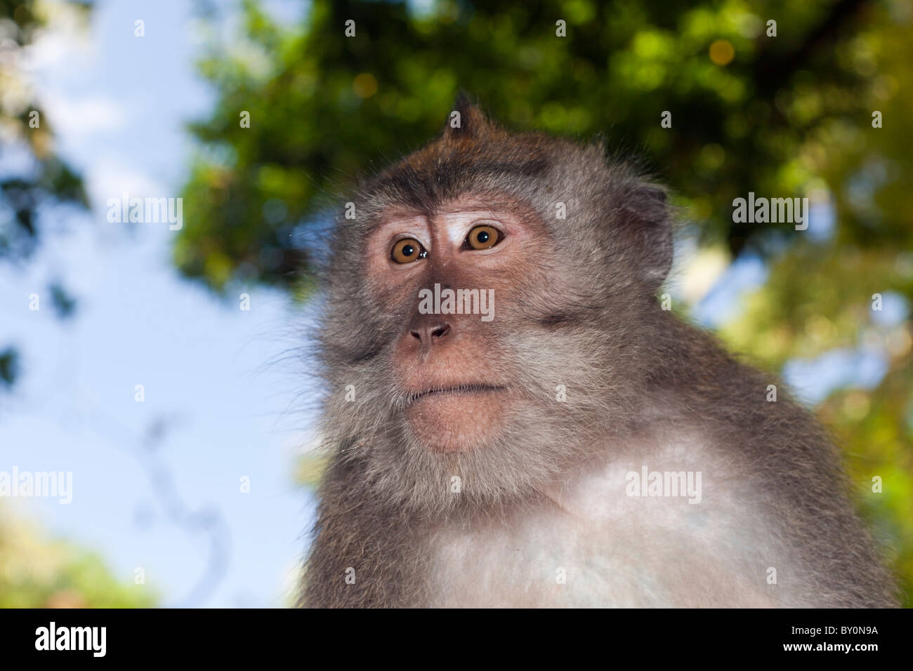 Longtailed Macaques, Macaca fascicularis, Bali, Indonesia - Stock Image