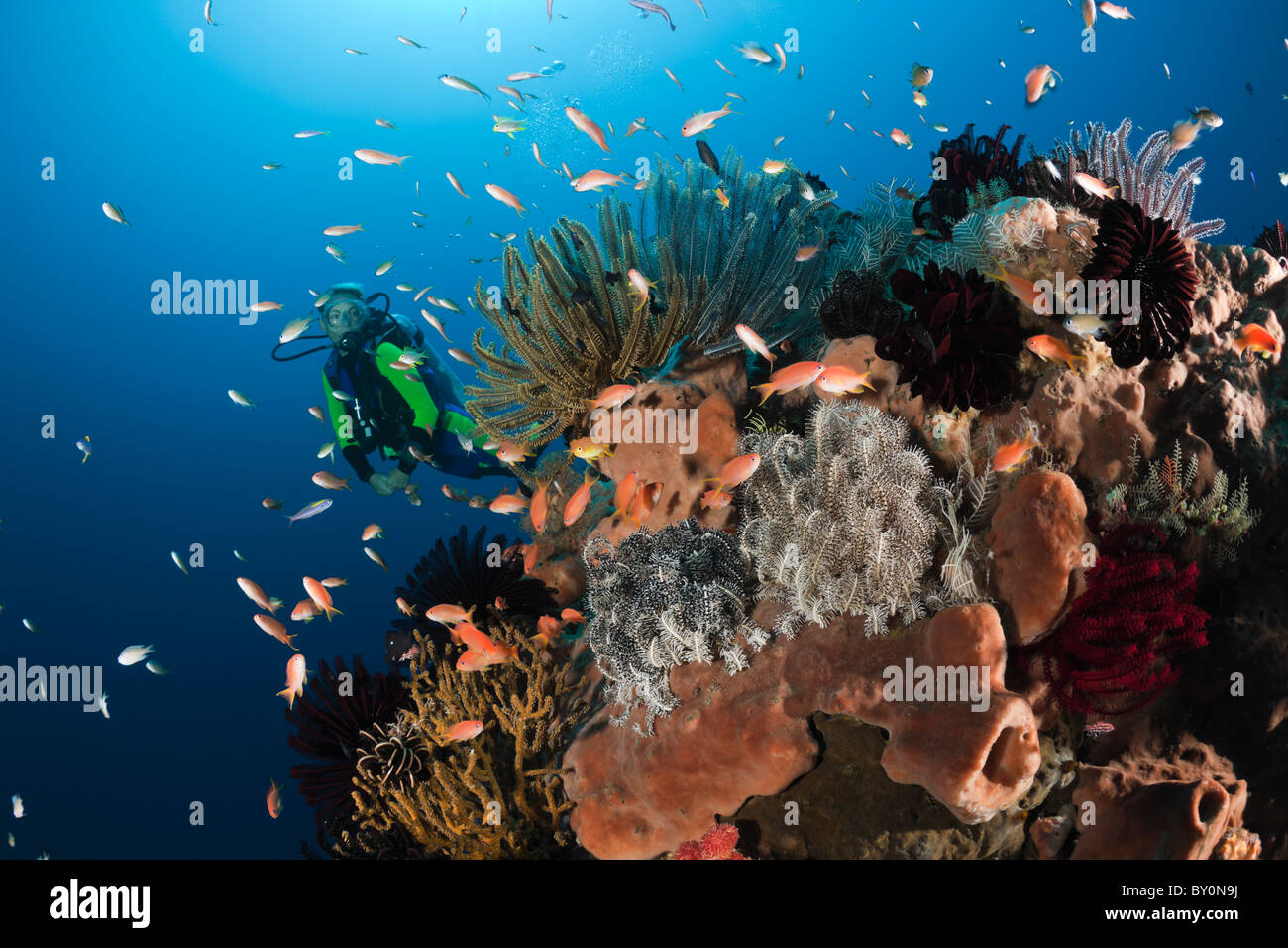 Scuba Diving in Coral Reef, Amed, Bali, Indonesia - Stock Image