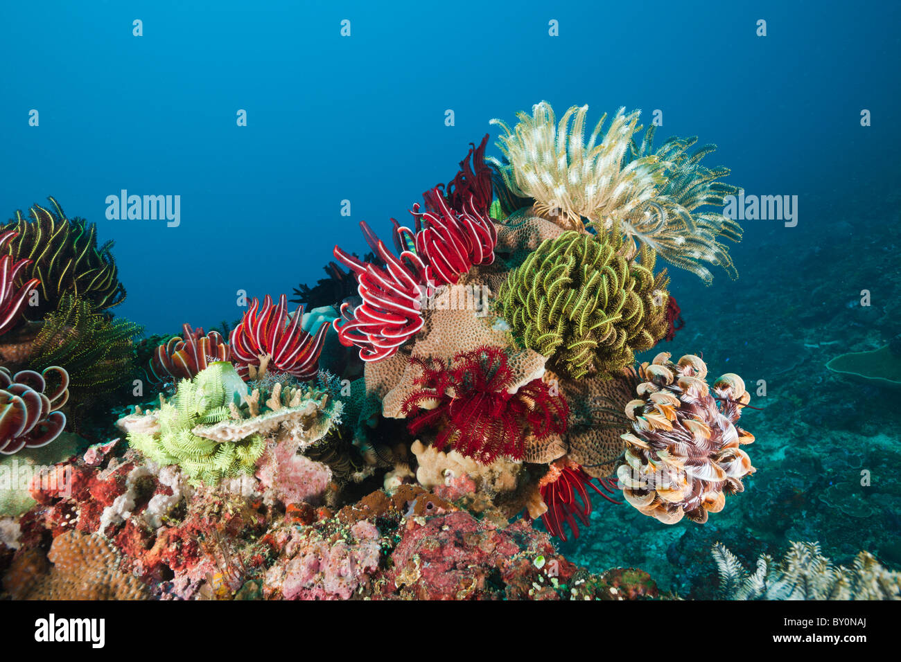 Crinoids on Coral Reef, Comanthina sp., Amed, Bali, Indonesia - Stock Image