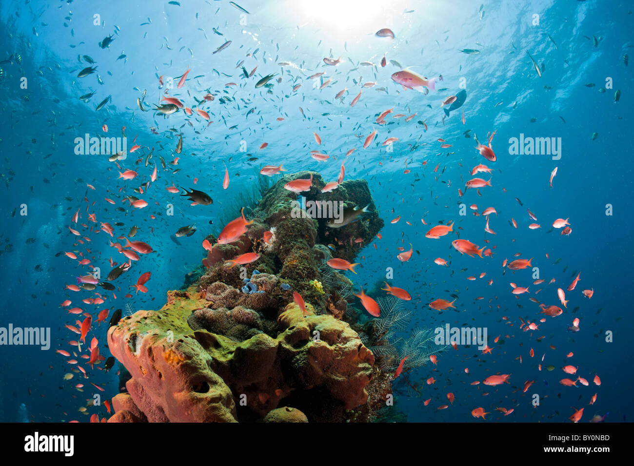 Lyretail Anthias at Liberty Wreck, Pseudanthias squamipinnis, Tulamben, Bali, Indonesia - Stock Image