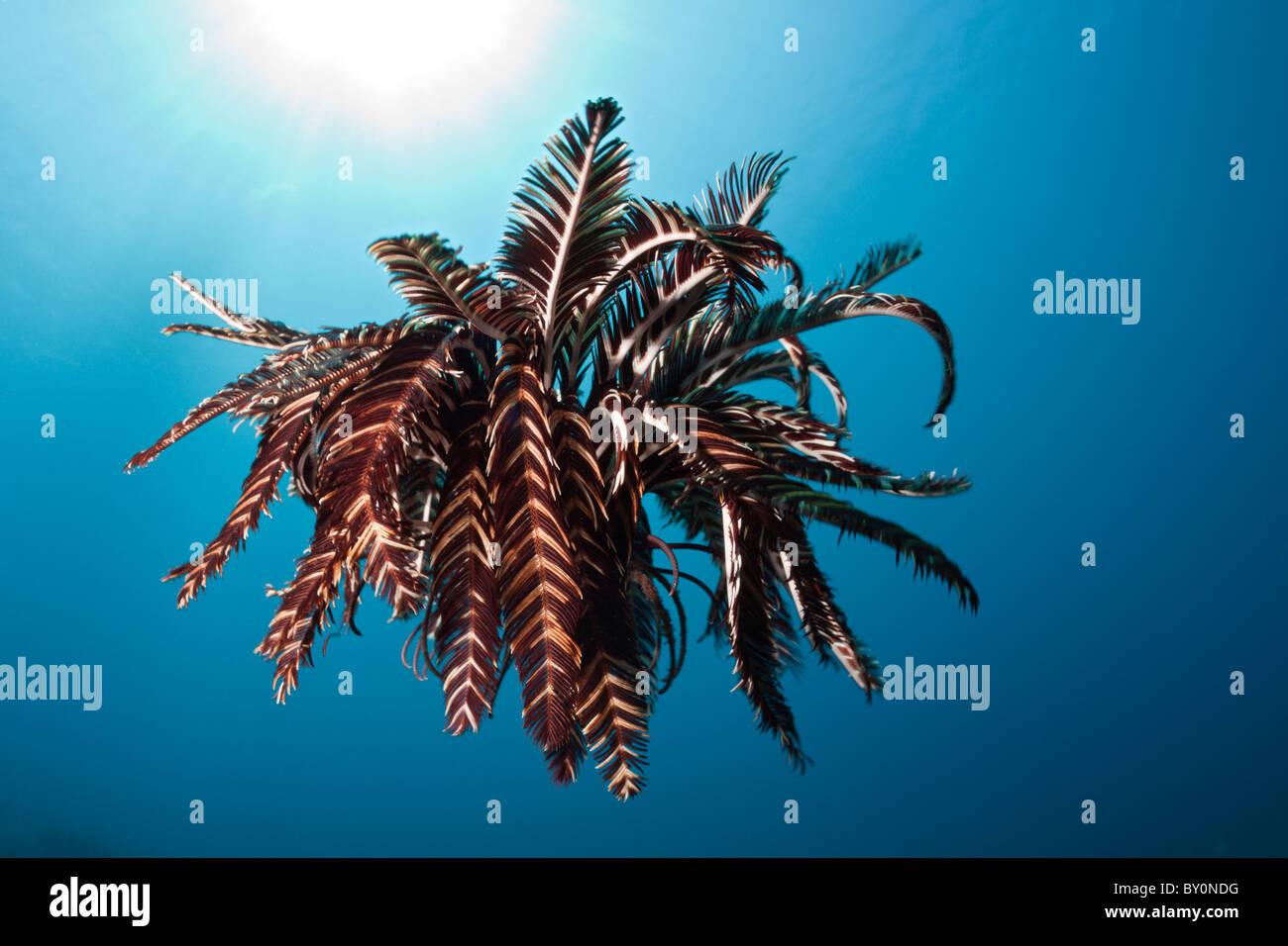 Crinoid hover over Reef, Comantheria sp., Alam Batu, Bali, Indonesia - Stock Image