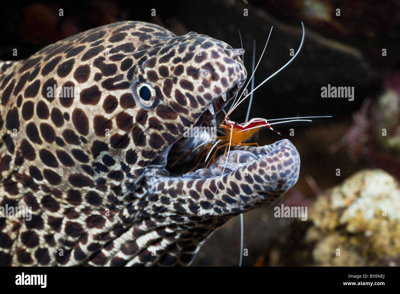 Honeycomb Moray cleaned by white-banded Cleaner Shrimp, Lysmata amboinensis, Gymnothorax favagineus, Alam Batu, - Stock Image